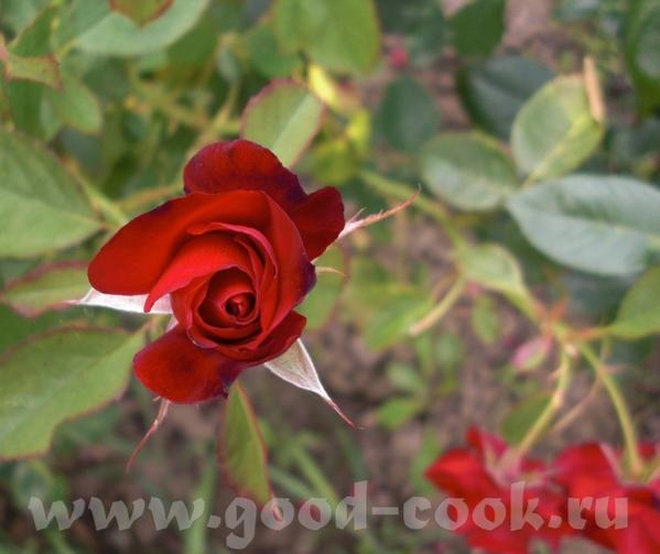 Мамины розы - 5