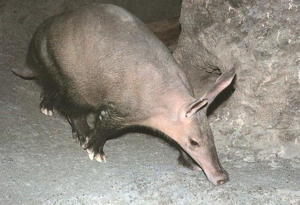 """Эта штука с ушами по английски называется """"aardvark"""", это совершенно точно, мы нашли картинку в кни..."""