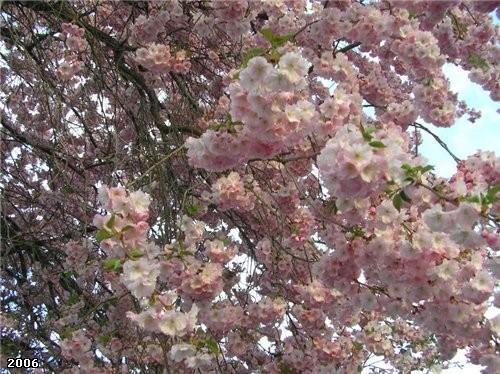 А это дерево, цветущее тоже розовыми цветами не хуже магнолии