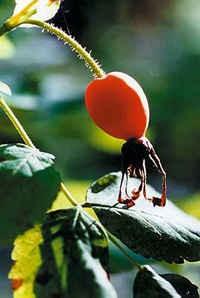 Шиповник (Dogrose) Ирга Темно-пурпуровые, с сизым налетом ягоды Кизил