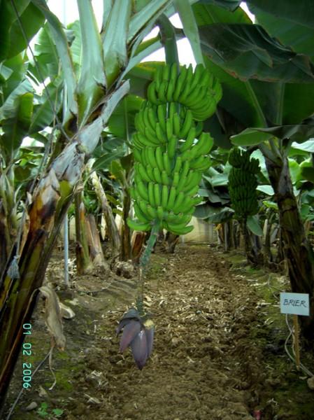 Теперь, когда мы подкрепились, у нас есть возможность посетить банановую плантацию Я в первый раз у... - 2