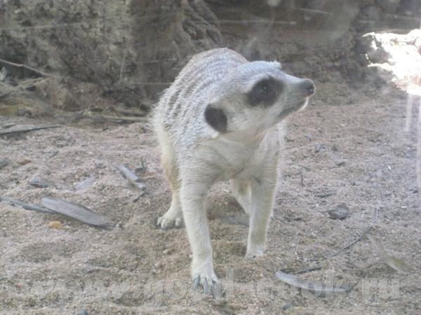 И так, Южно Африканские млекопитающие из семейства мангустовых - 4