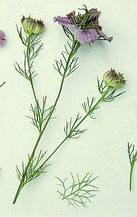 Танечка, сразу скажу, что семян нигеля у меня не было, но в книге ета специя описывается, как арома...