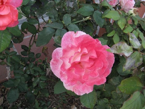 Очень интересное растение, цветы не цветы и вот такой куст лист копия ёжика даже от прикосновения к... - 5