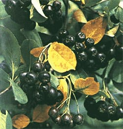 Арония черноплодная рябина Калина (Guelder-rose) Боярышник (Hawthorn)