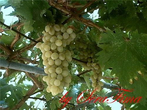 Сегодня обрезала последний виноград