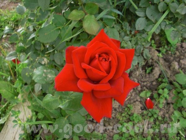 Очень красивые и розы и лилии - 3