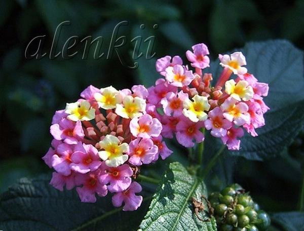 Тут очень много всевозможных цветущих кустарников - 3