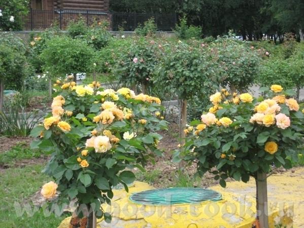 Рядом с моим домом в Садоводческом центре распустились розы
