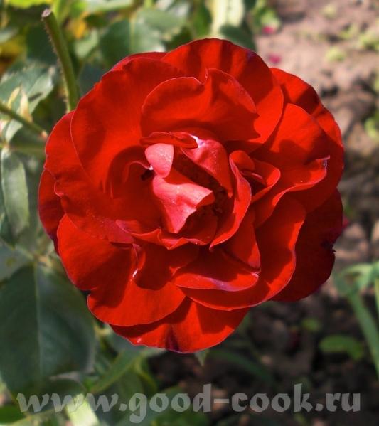 Мамины розы