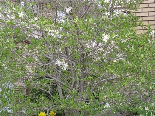 Немного весны, цветущие магнолии разных видов - 3