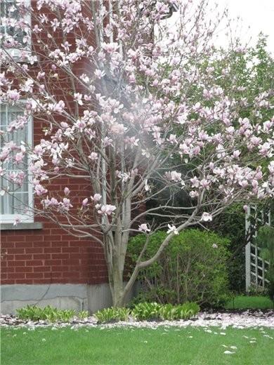 Немного весны, цветущие магнолии разных видов - 2