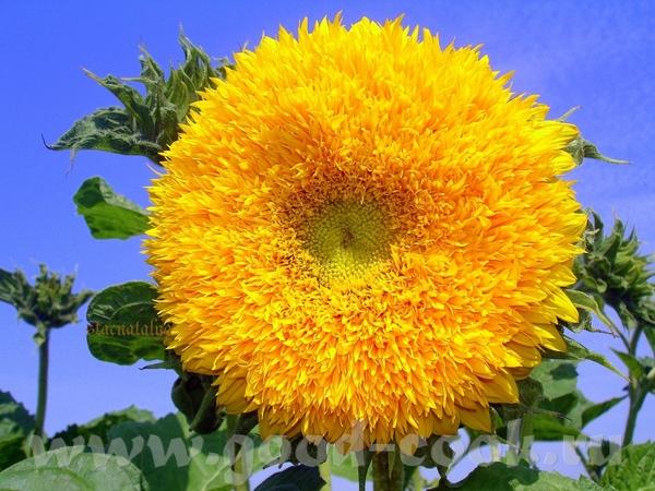 А вот и наша кукурузка, с огорода, своя Вкусняяяяявая А ещё у нас на огороде цветут вот такие декор... - 2