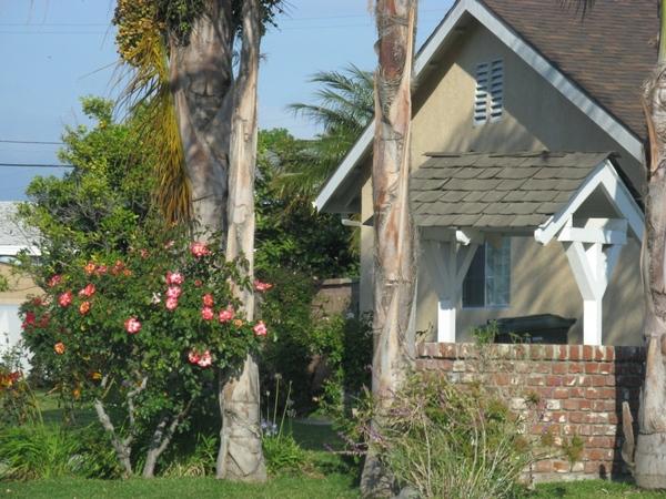 Прекрасный Гибискус растет как кусты везде, самое интересное что стригут его как кусты или газон, о... - 9
