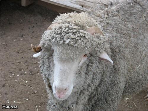 Козочка Барашек (у него тоже есть жены - но вот он их не подпускал к фотоаппарату) олени и индюк -... - 2