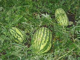 С ботанической точки зрения, плод арбуза – самая что ни на есть ягода, самая крупная из всех извест...