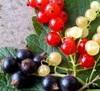 Смородина черная и красная Рецепт смородинового варенья от pasha Варенье из чёрной смородины от Eme...