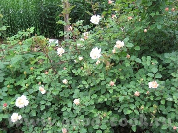Рядом с моим домом в Садоводческом центре распустились розы - 3