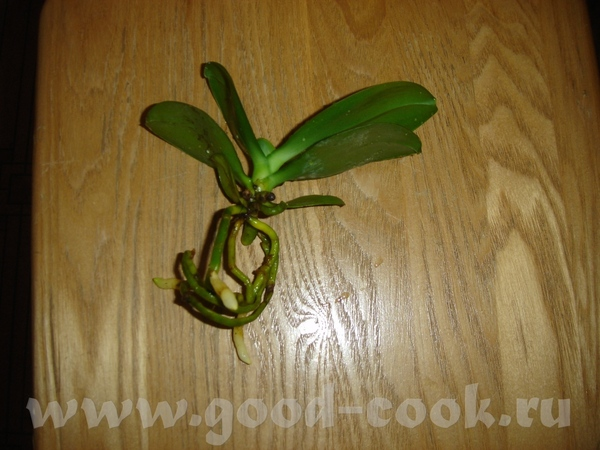Наконец-то пересаживаю свою орхидею, глядя на корни по моему вовремя