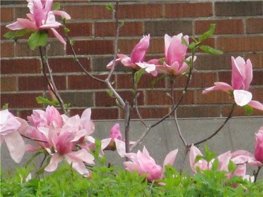Немного весны, цветущие магнолии разных видов