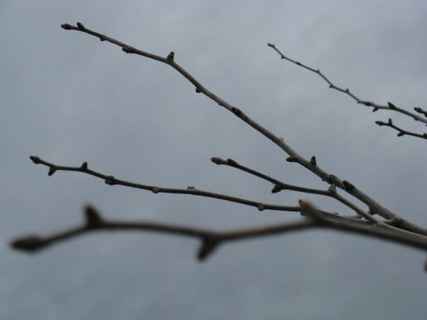 другой берег почки дерева Гинко-белоба (извиняюсь если неправильно написала название) - 7