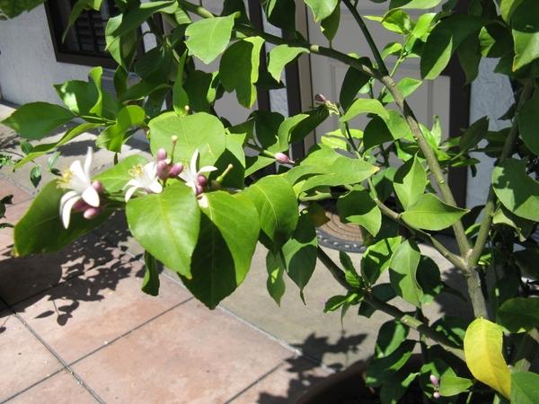 Прекрасный Гибискус растет как кусты везде, самое интересное что стригут его как кусты или газон, о... - 6
