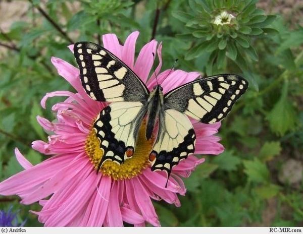 У бабочек спинки другие,и носик клювиком видно