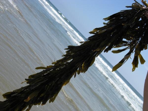 черные и серые чайки водоросли в виде Бoа - 6