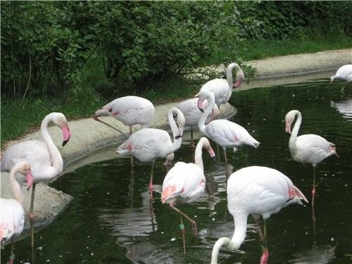 Фламинго, оказвается бывают розовыми и