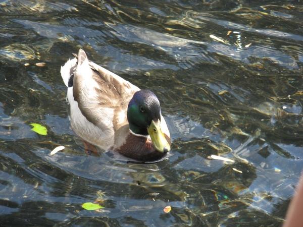 селезень на пруду