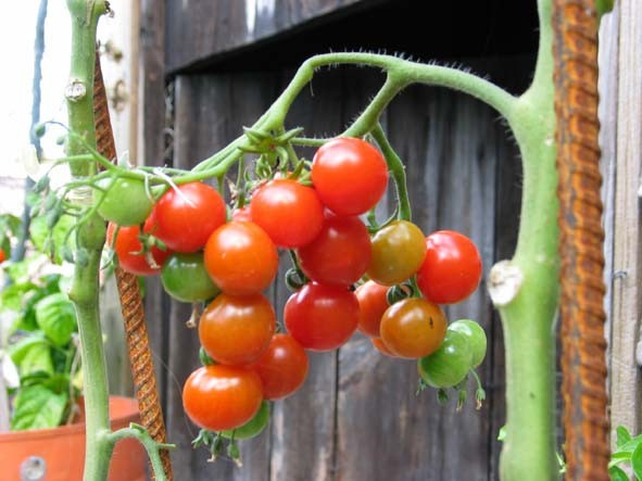это - мой урожай а это мой огурец, корый я любовно выращивала на семена