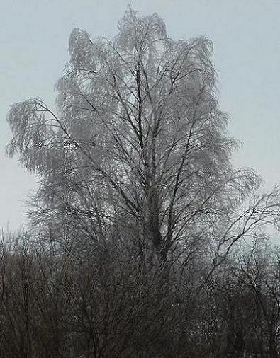 """""""Белая береза под моим окном"""