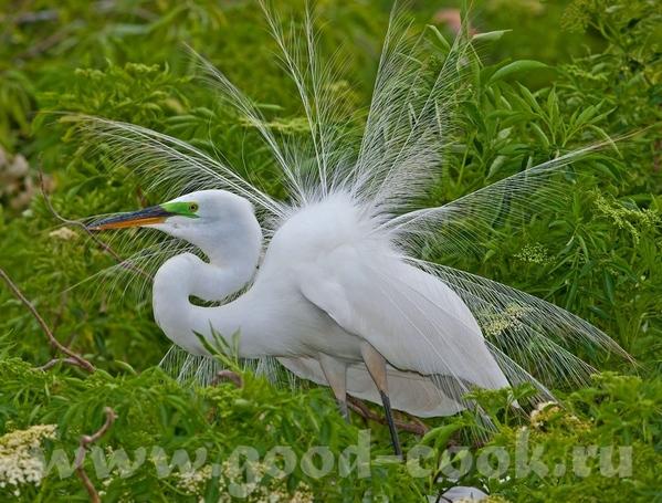 Если этo тебе поможет- лови ещё Большая белая цапля (не аист)- Great White Heron ------------------... - 3