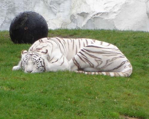 Ну и знаменитые белые тигры, львов мы чего то не щелкнули, дождь сильный пошел