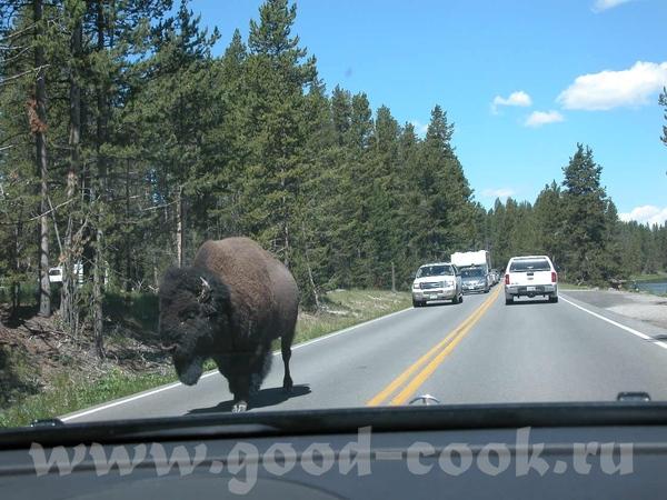 Кстати, бизонов в парке не увидеть невозможно, они - везде
