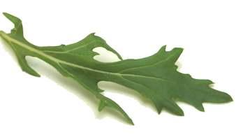 РАШРАД ЭТО Японский салат по русски мизуна = паучья горчица Нежные листья и приятный, острый аромат