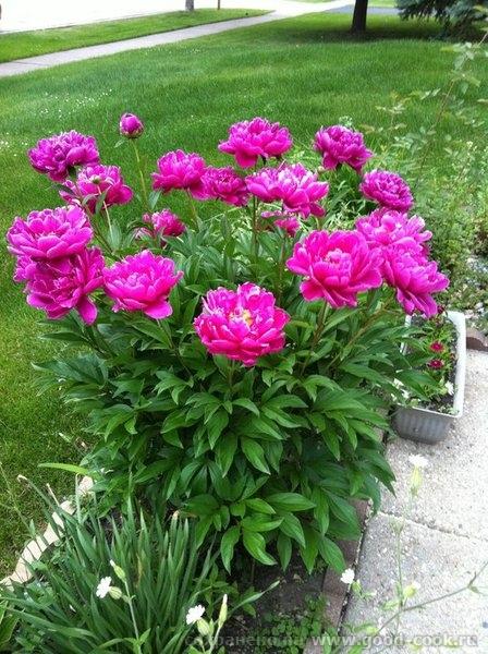 cvetu