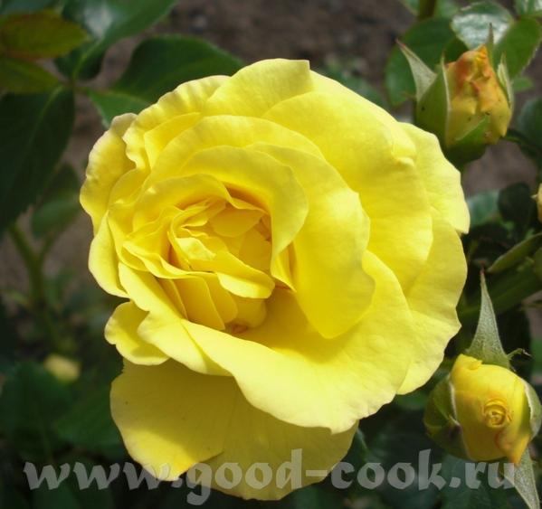 Мамины розы - 2