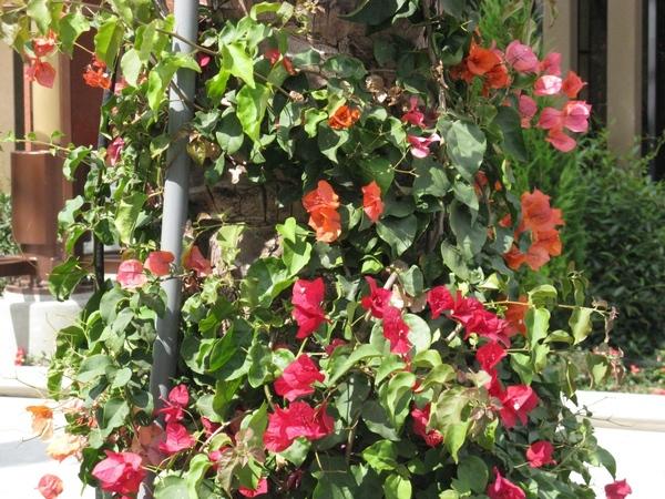 Прекрасный Гибискус растет как кусты везде, самое интересное что стригут его как кусты или газон, о... - 4