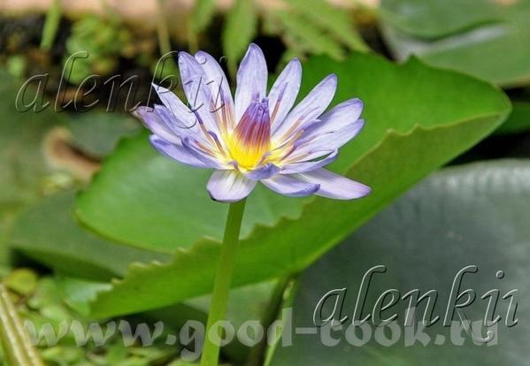 В бассейне Нимф плавают необычайной красоты огромные лилии