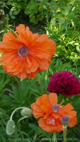 А вот мои маки , этого года а это водосбор еще немного цветочков Вот такая красота расцвела у меня на балконе И на п...